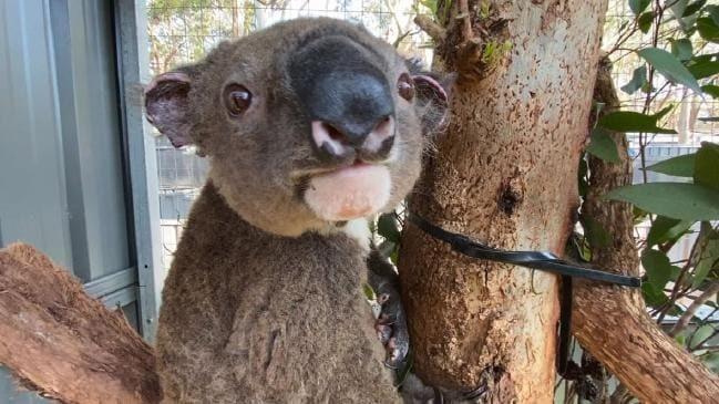 Photo of an injured Koala