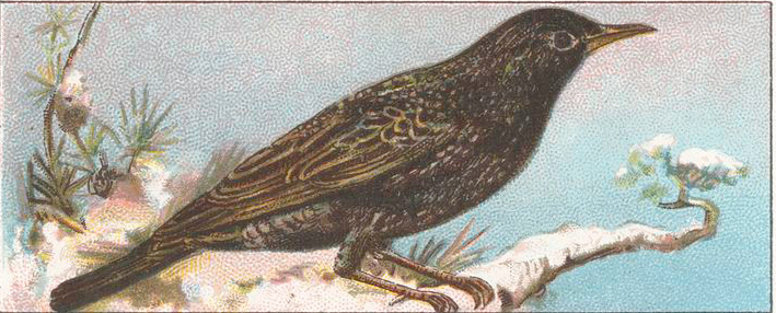 Painting of a starling sitting on a branch facing to the right