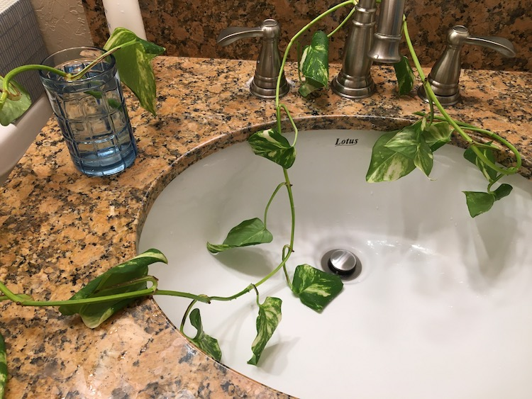 Photo of pothos leaves in a white sink basin
