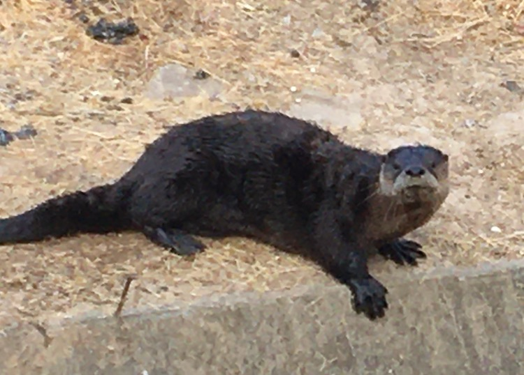 Photo of an otter on the land at the edge of a canal